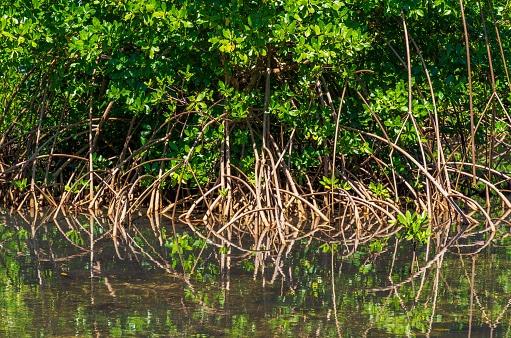 Mangrove en Guadeloupe
